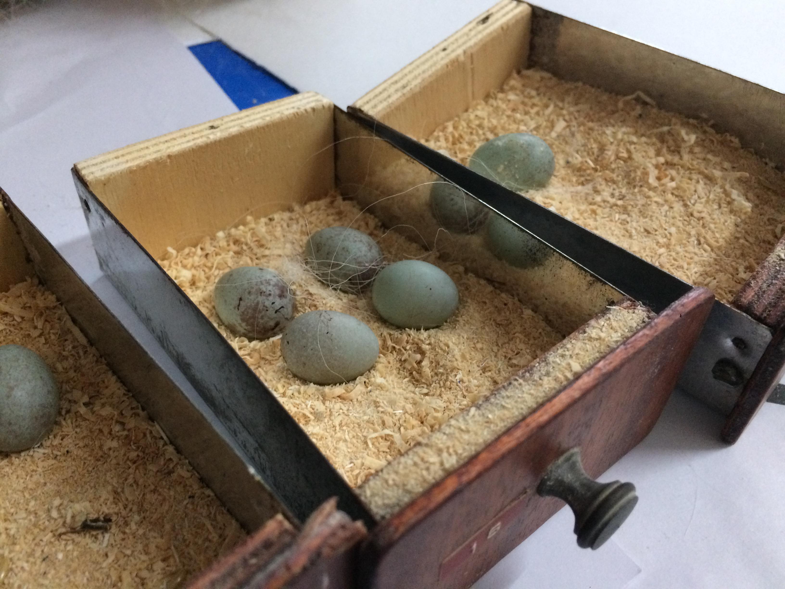 2 huevos tipos de canarios de postura giboso espanol